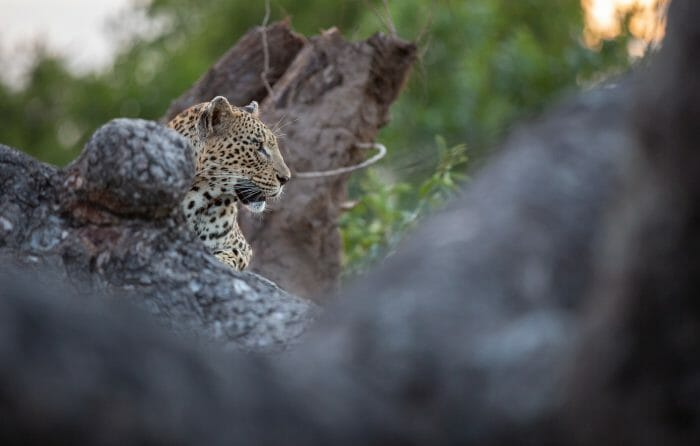 Mashaba Leopard