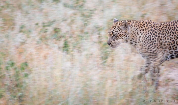 Ndzanzeni Female Leopard Panning