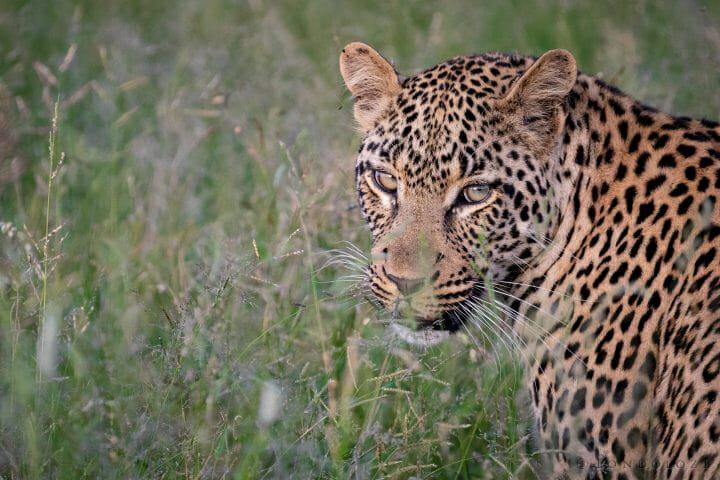 Tatowa Young Male Leopard