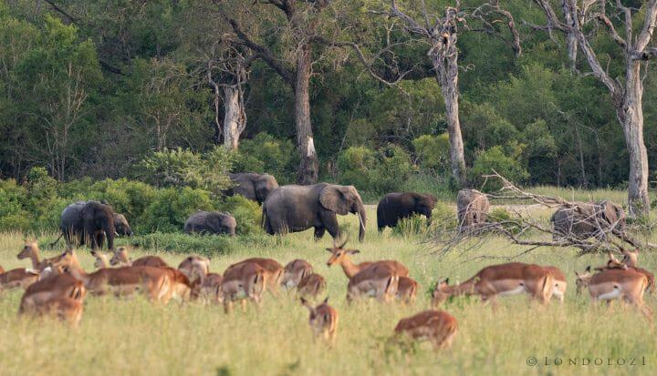Elephant Herd Impala