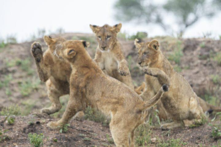 Mhangeni Lion Cubs 2013 2