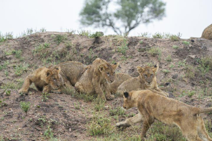 Mhangeni Lion Cubs 2013