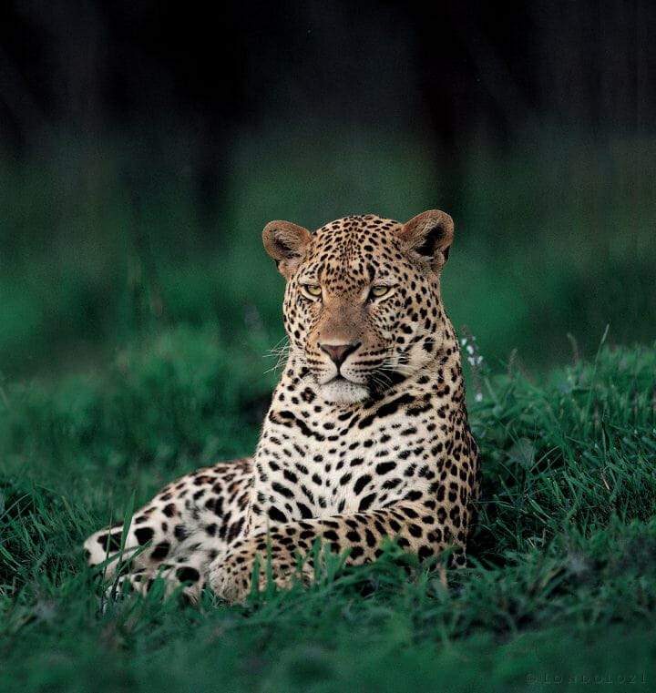 Icon Leopard Lex Hess