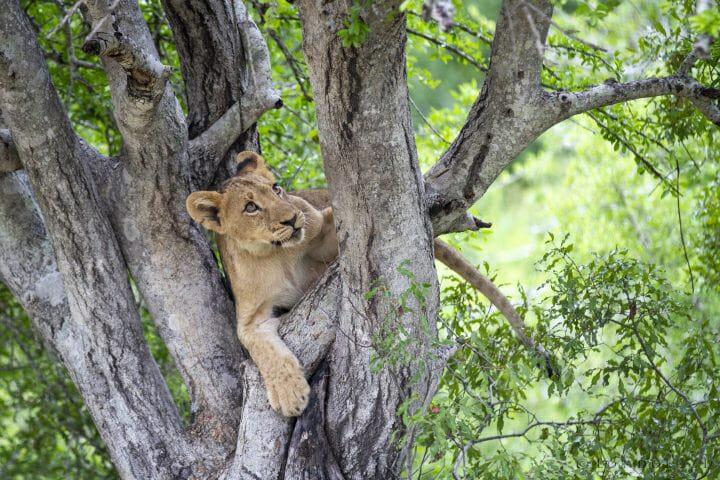Mhangeni Lion Cub 2013