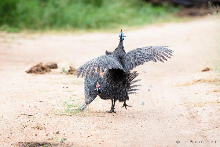 Gunieafowl Bird Brawl 3