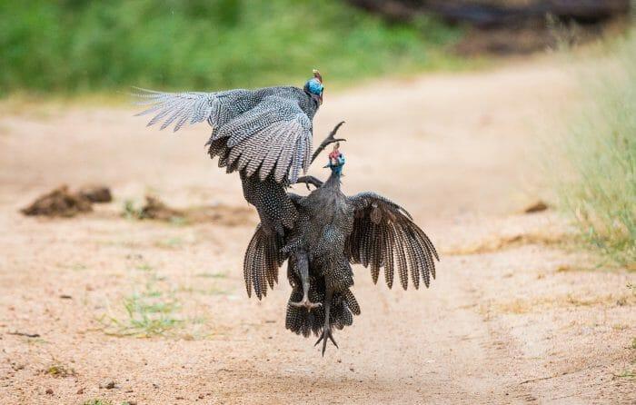 Gunieafowl Bird Brawl 4