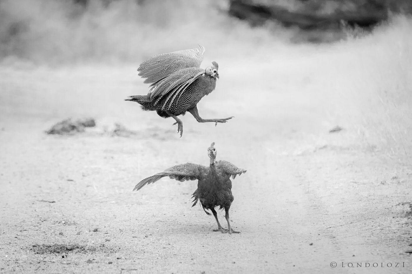 Gunieafowl Bird Brawl 5