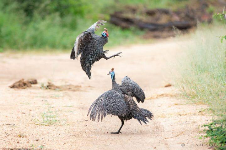 Gunieafowl Bird Brawl 6