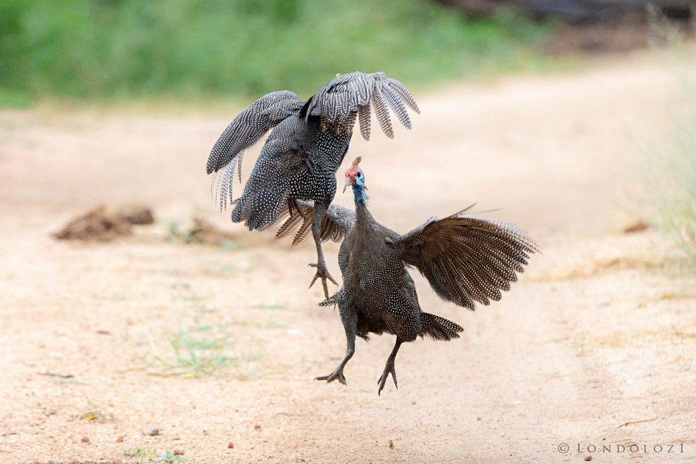 Gunieafowl Bird Brawl 7