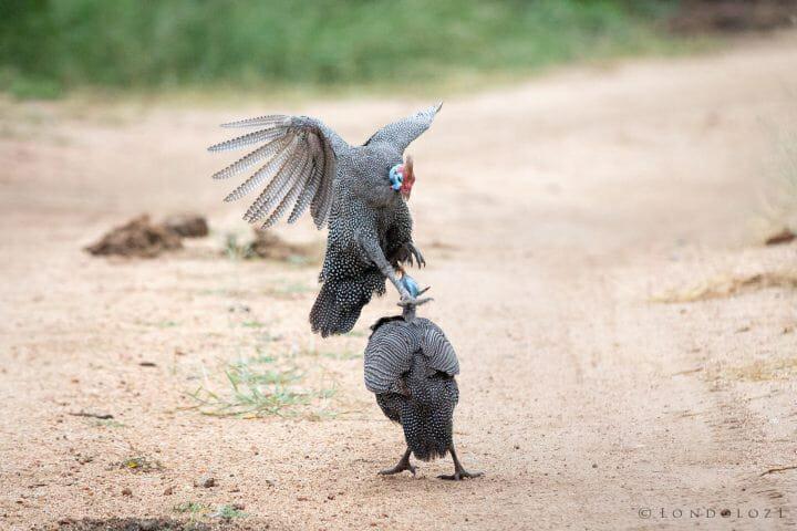 Gunieafowl Bird Brawl 2 2