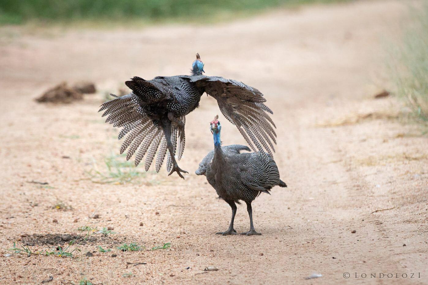 Gunieafowl Bird Brawl 2 3