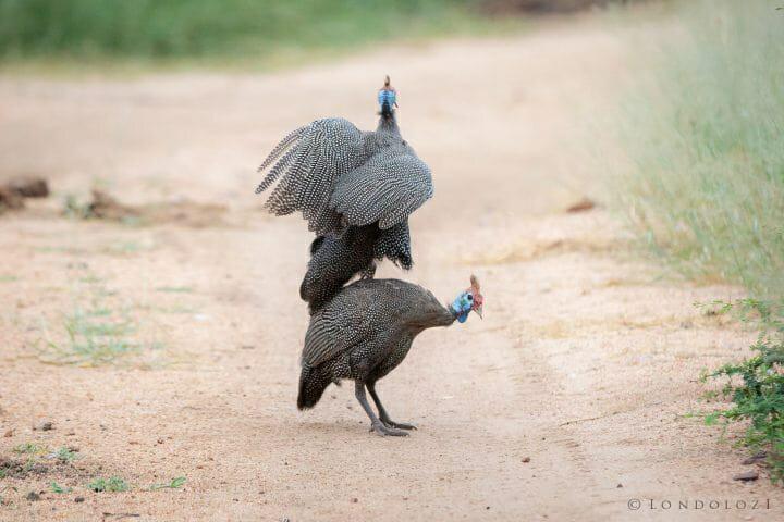 Gunieafowl Bird Brawl Jump