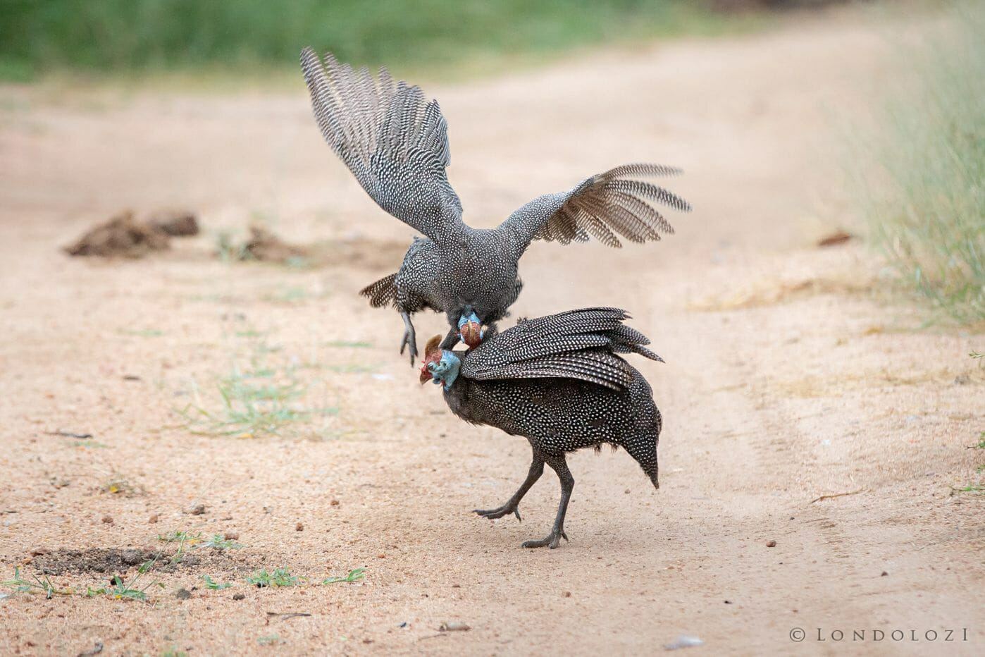 Gunieafowl Bird Brawl Peck