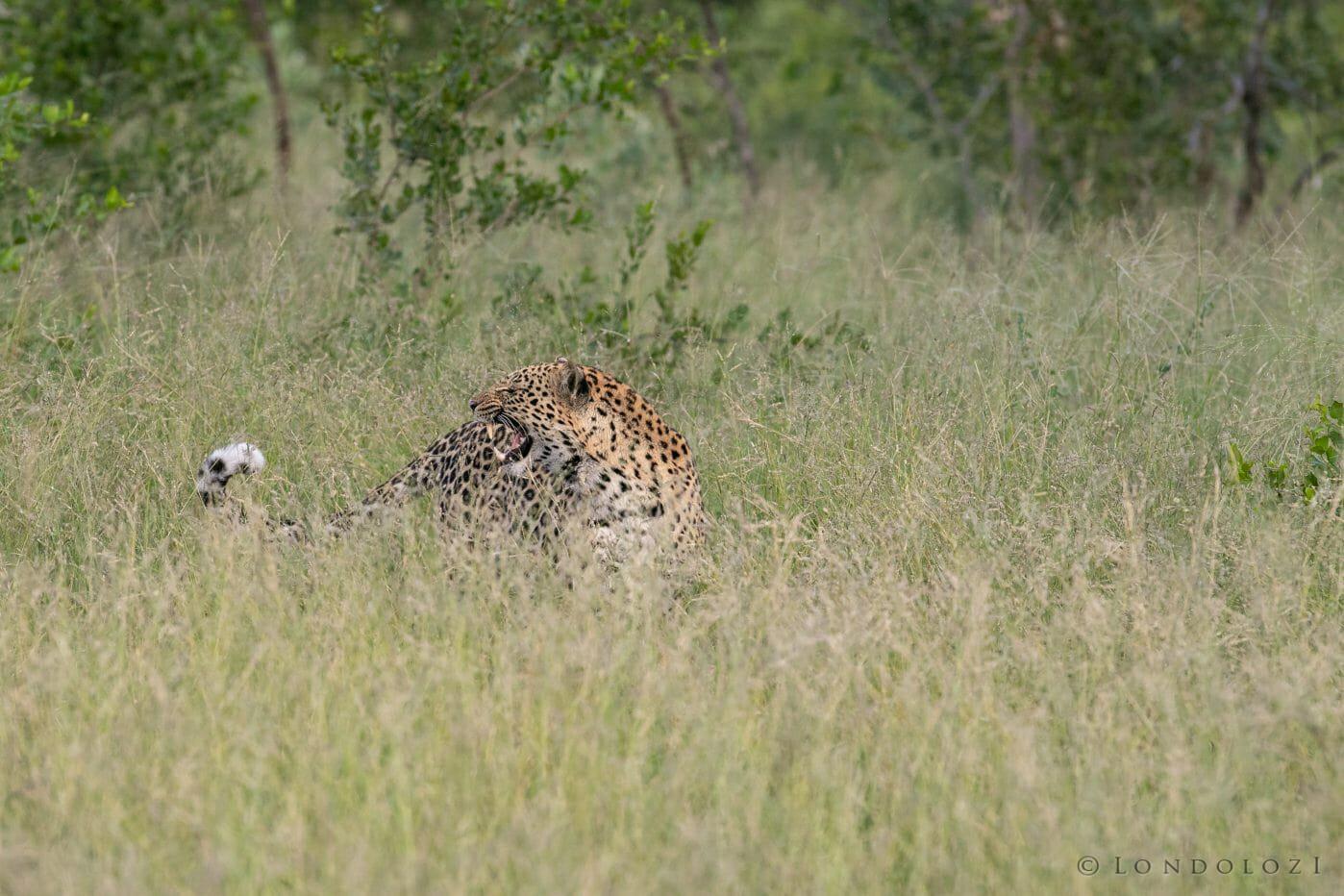 Ximungwe Leopard Hoist 2