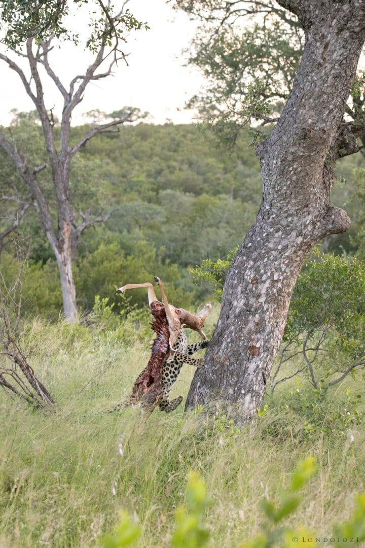 Ximungwe Leopard Hoist 3
