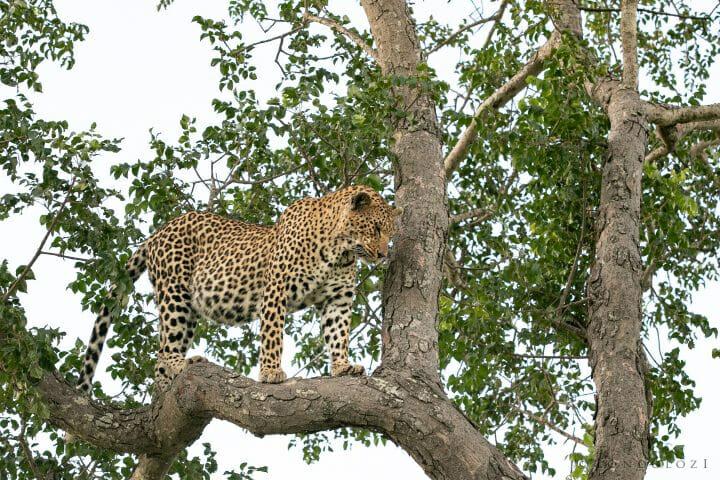 Ximungwe Leopard Hoist