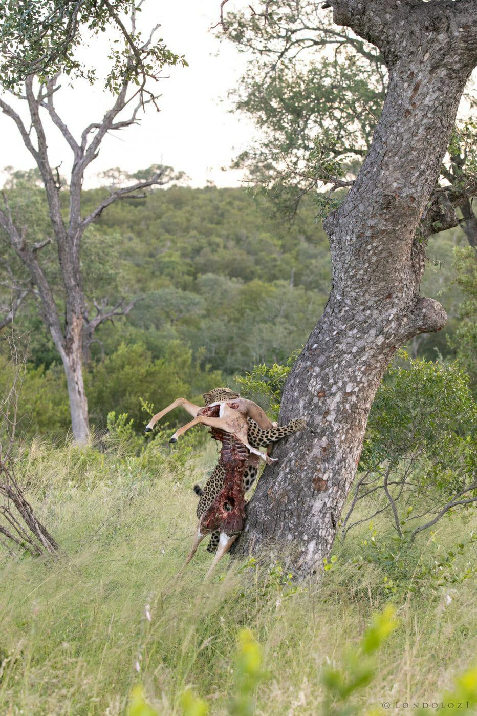 Ximungwe Leopard Hoist 4