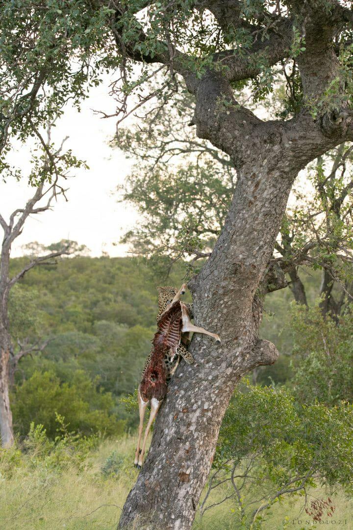 Ximungwe Leopard Hoist 5