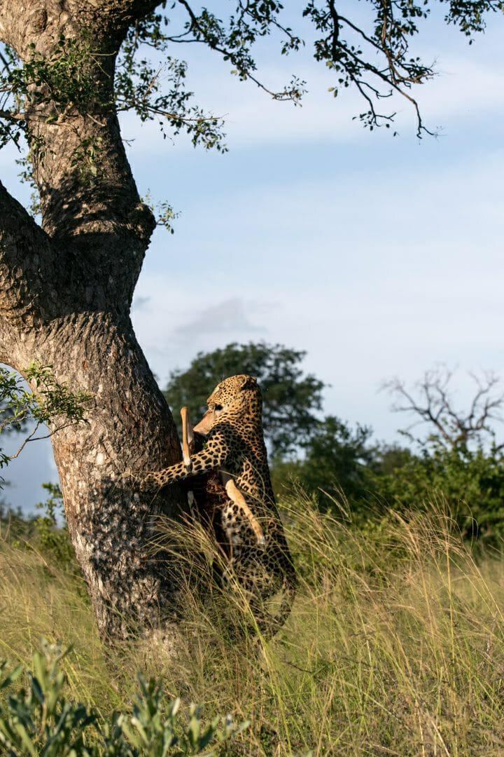 Ximungwe Leopard Hoist 6
