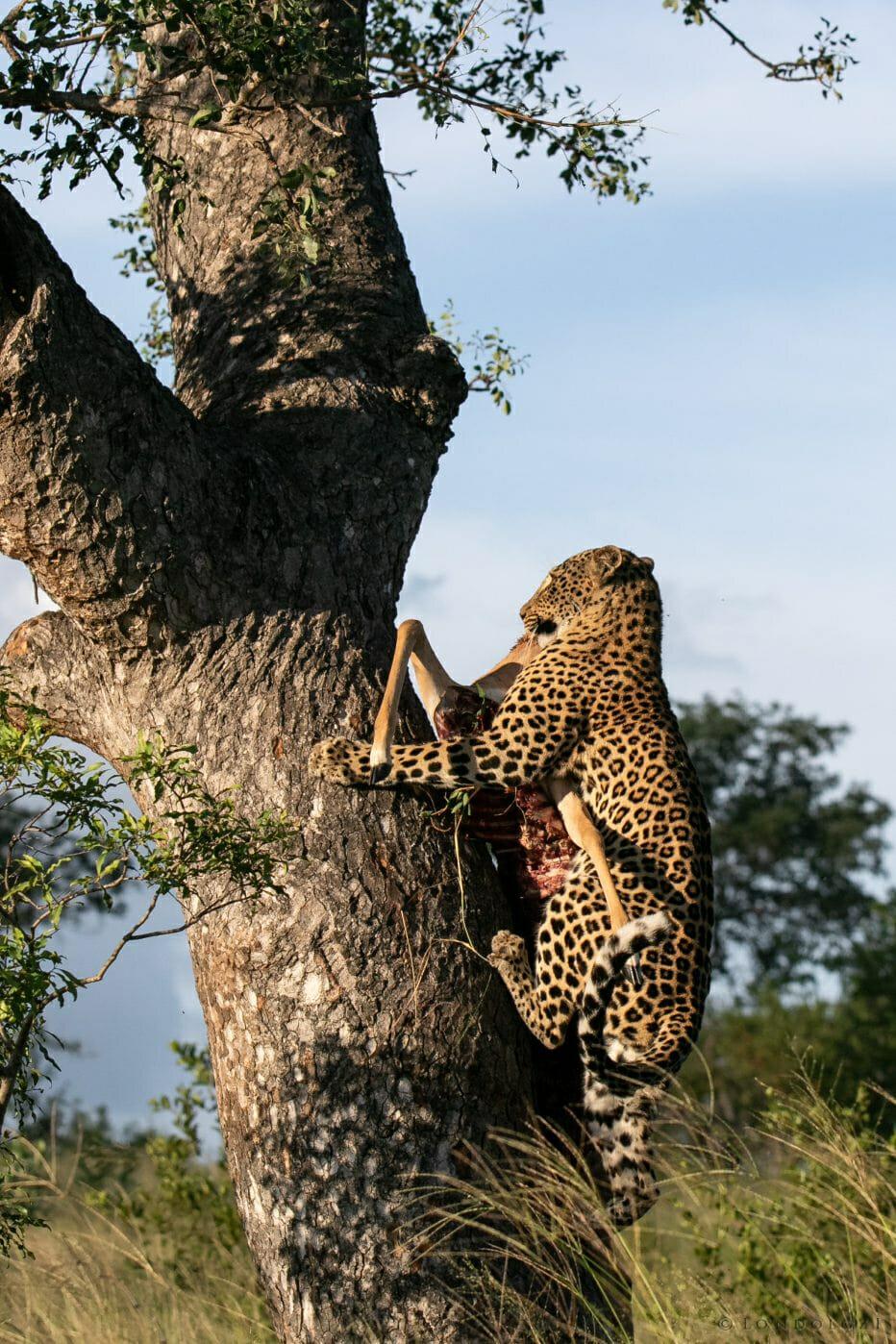 Ximungwe Leopard Hoist 8