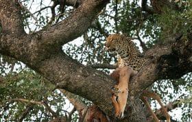 Ximungwe Leopard Hoist 9