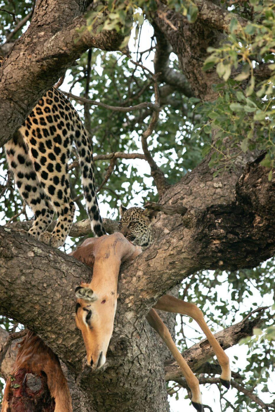 Ximungwe Leopard Hoist 10