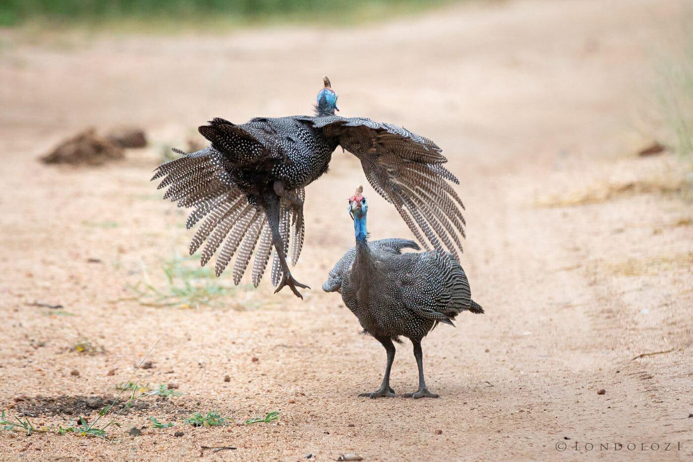 Guineafowl Bird Fight