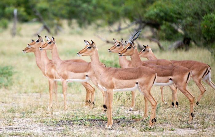 Impala Alarm Call