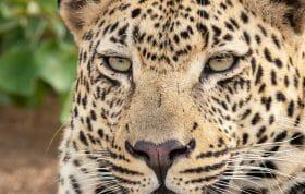 Ndzanzeni Young Male Leopard