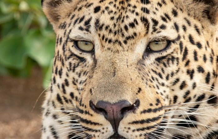 Ndzanzeni Young Male Leopard