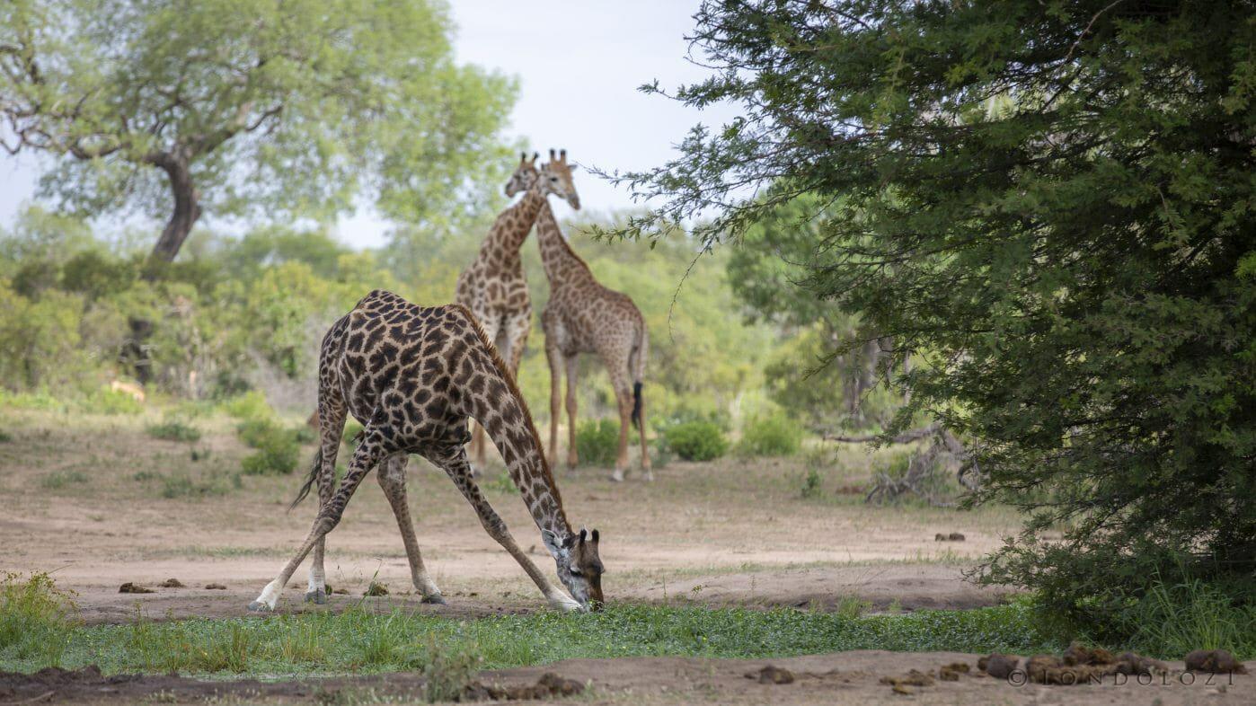 Giraffe Drinking 2