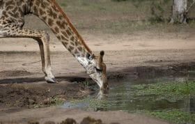 Giraffe Drinking 3