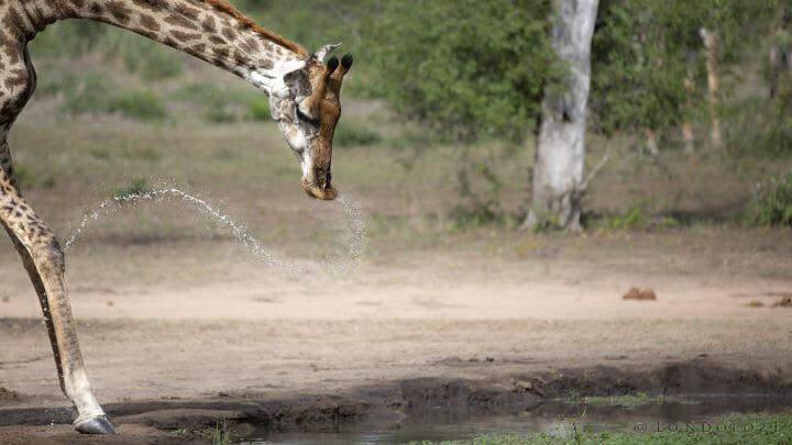 Giraffe Drinking 4