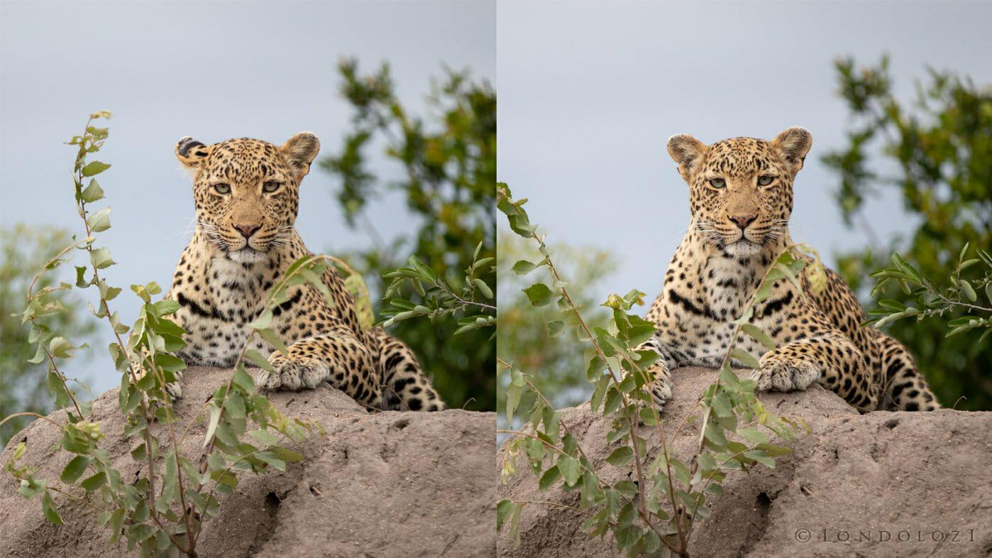 Leopard Ear