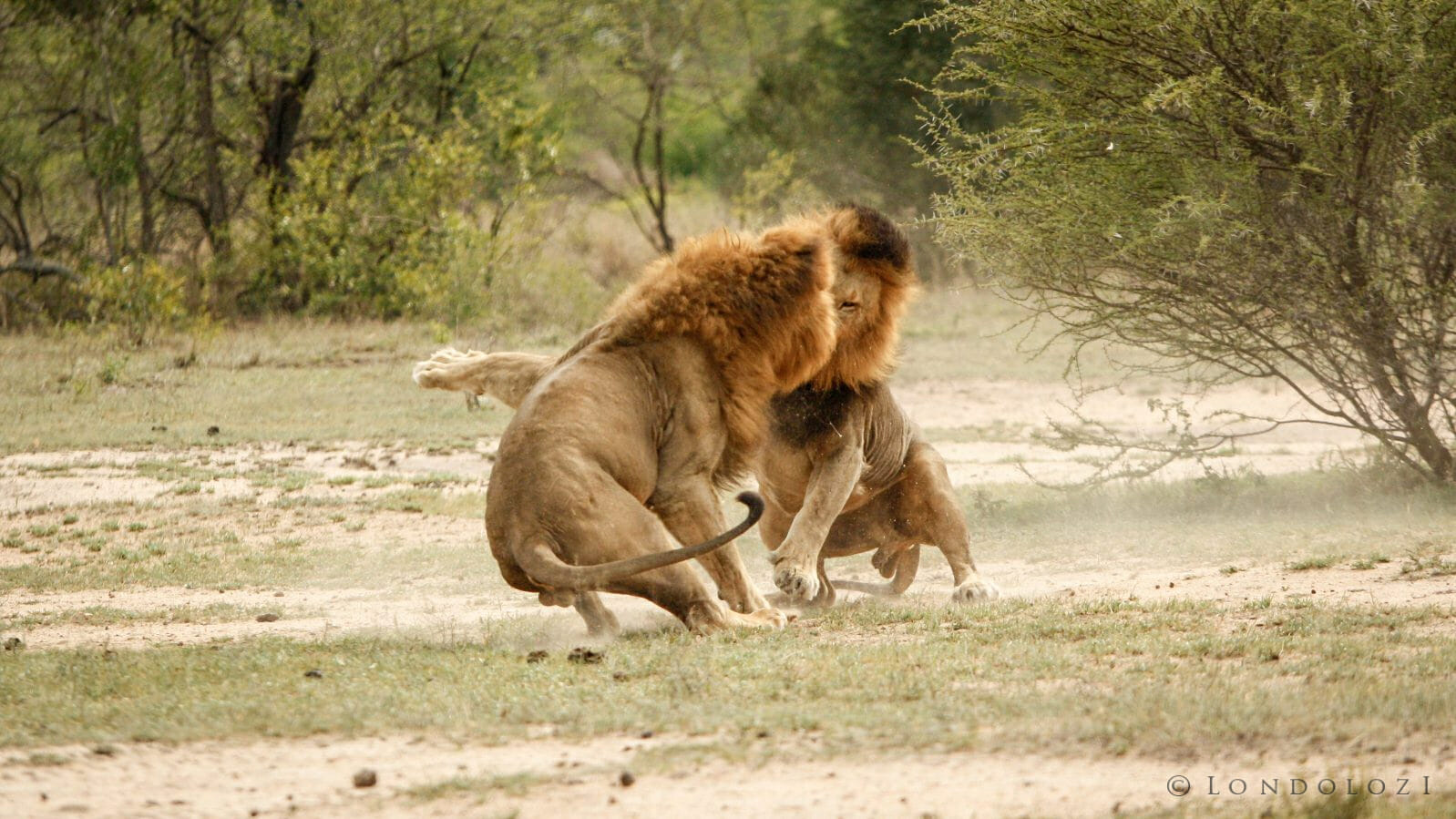 Majingilane Lion Fight