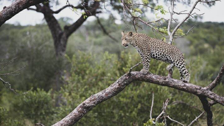 Nhlanguleni Leopard Cub In Tree