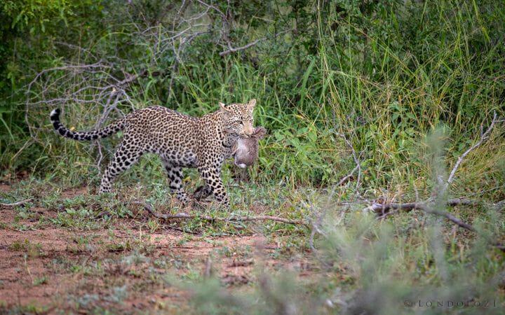 Nhlanguleni Leopard Cub Kill Hare