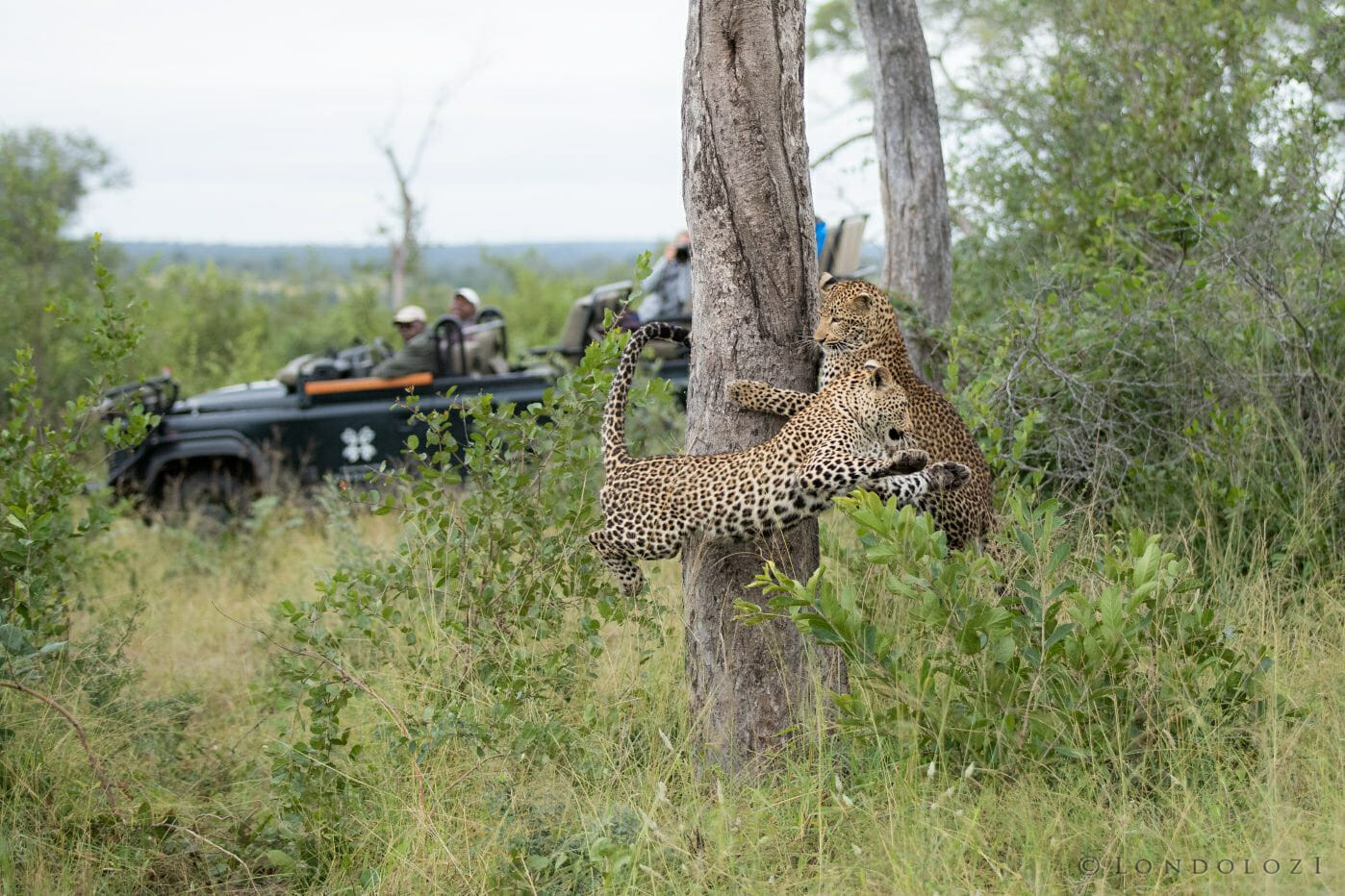Nhlanguleni Leopard Cubs Play Tree Sandros