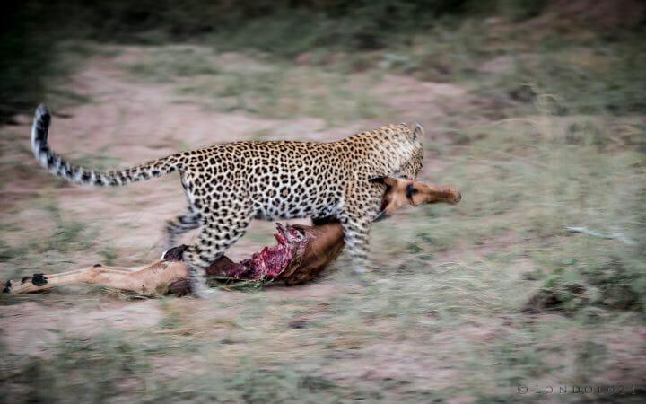 Nhlanguleni Leopard Drag Impala Kill