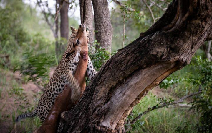 Nhlanguleni Leopard Hoist Impala Kill 2