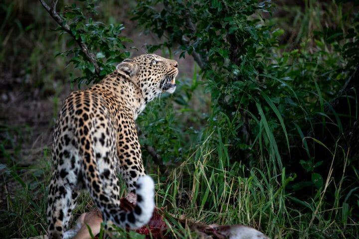 Nhlanguleni Leopard Hoist Impala Kill