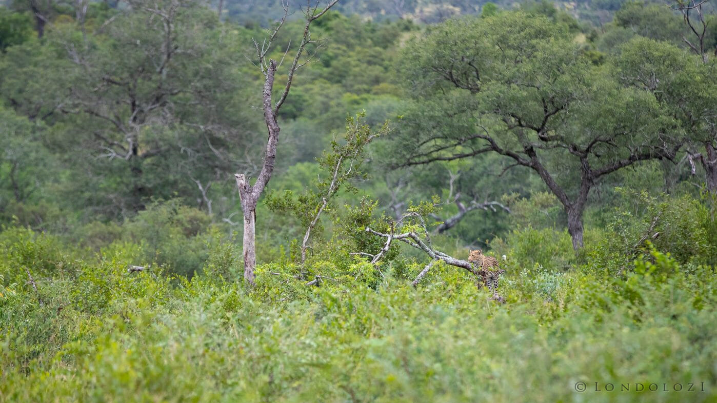 Nhlanguleni Leopard Tree Green