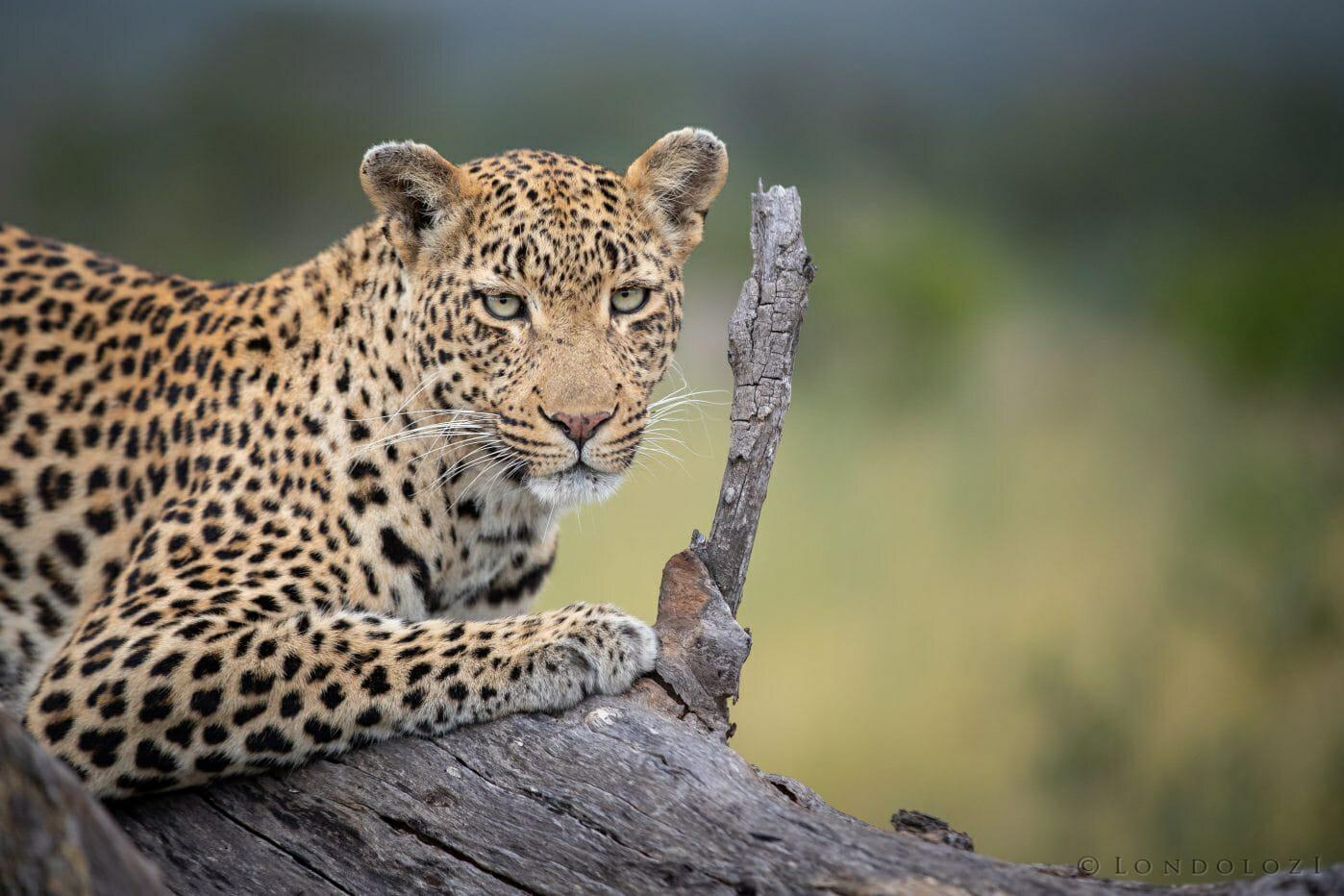 Nhlanguleni Leopard Log