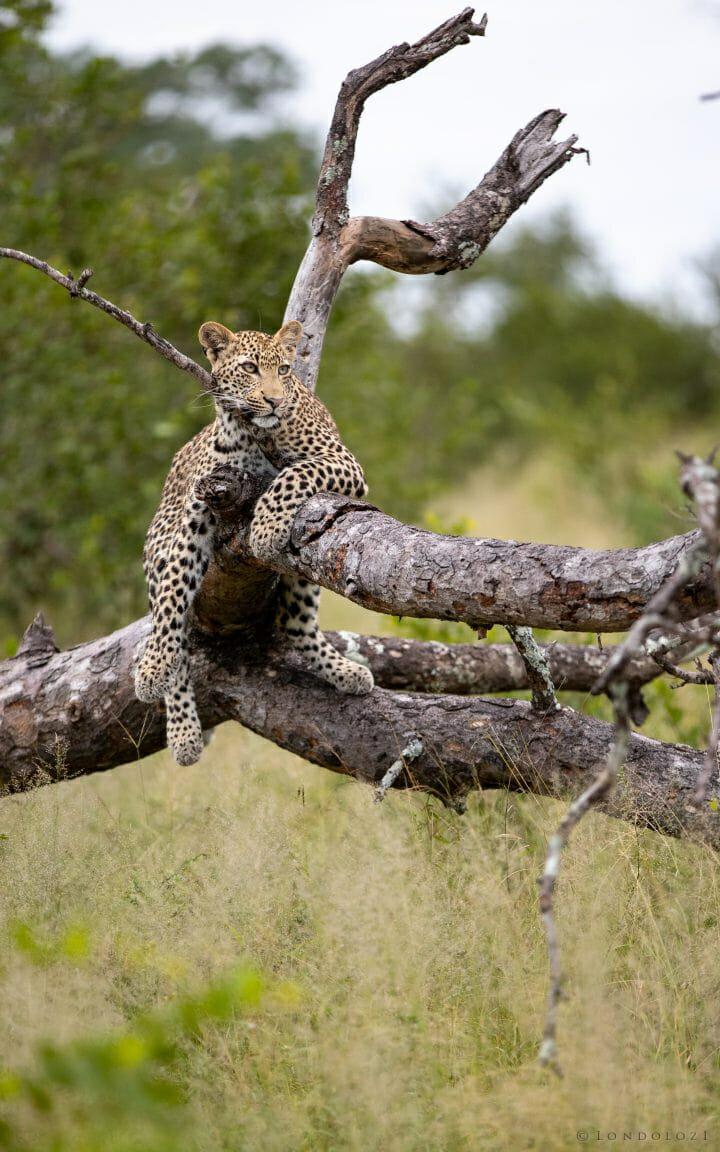 Nhlanguleni Leopard Cub Lie Log