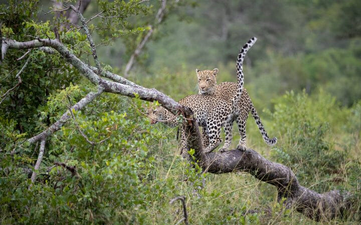 Nhlanguleni Leopard Cub Greet Log