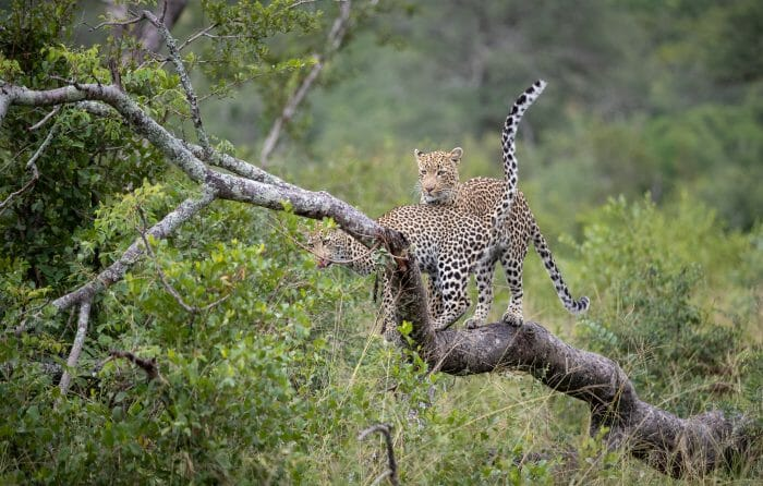 Nhlanguleni Leopard Cub Greet Log1