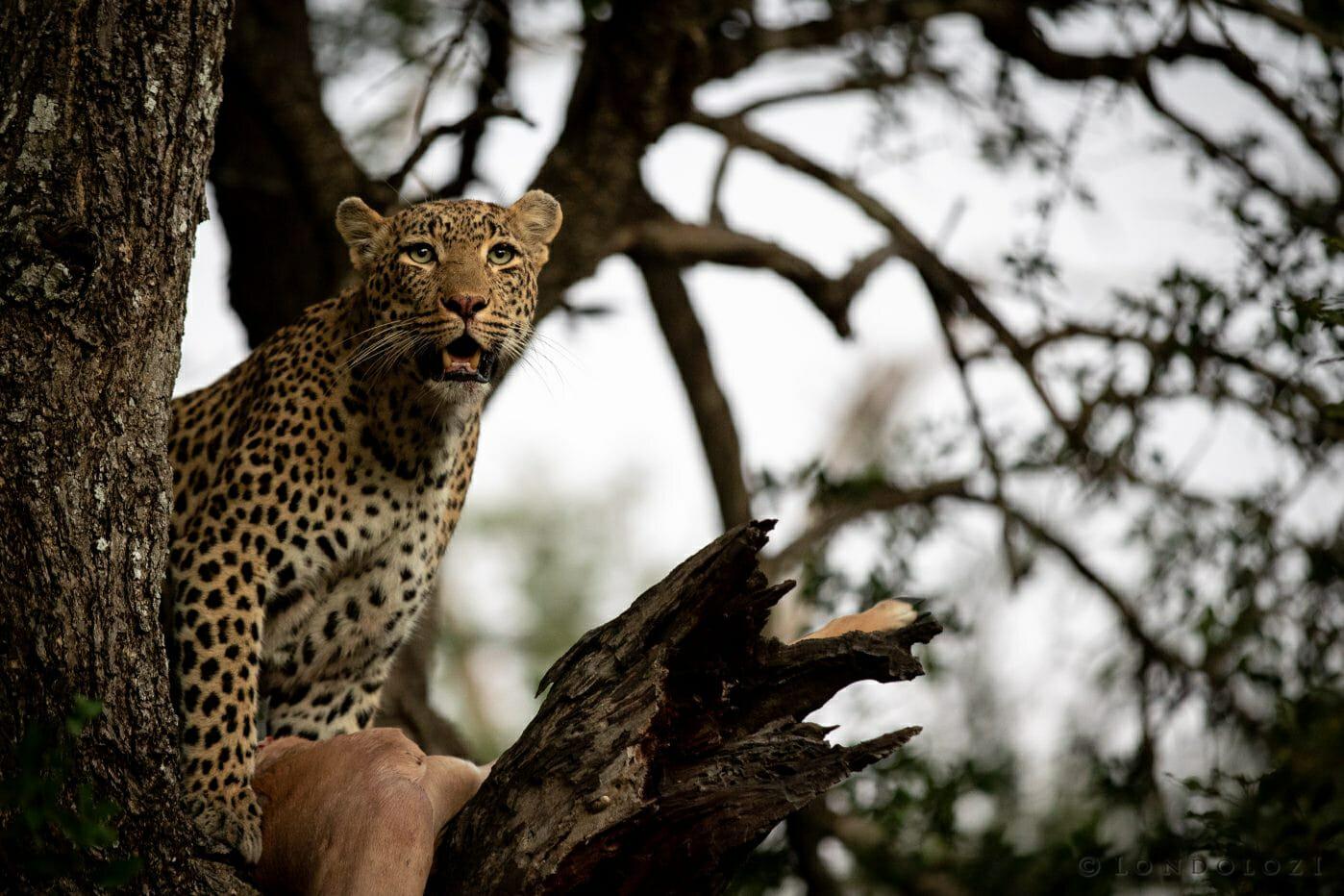 Nhlanguleni Leopard Climb Knobthorn Dusk
