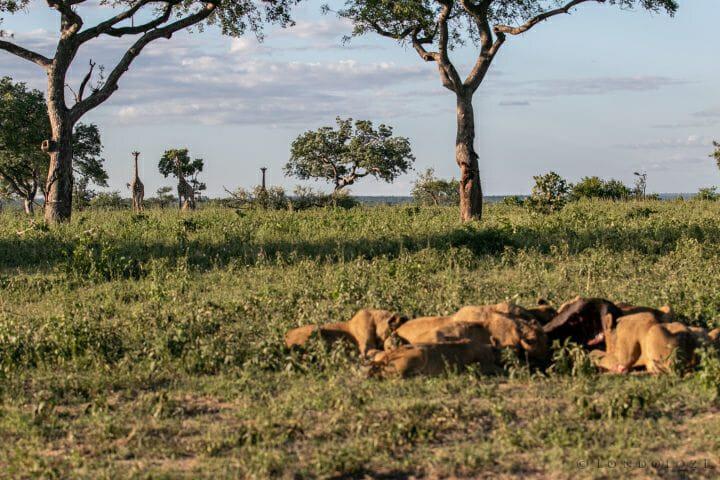 Styx Lions Giraffe 2