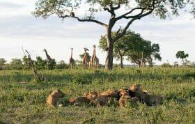 Styx Lions Giraffe 3