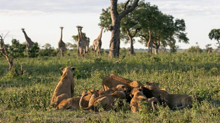 Styx Lions Giraffe 4